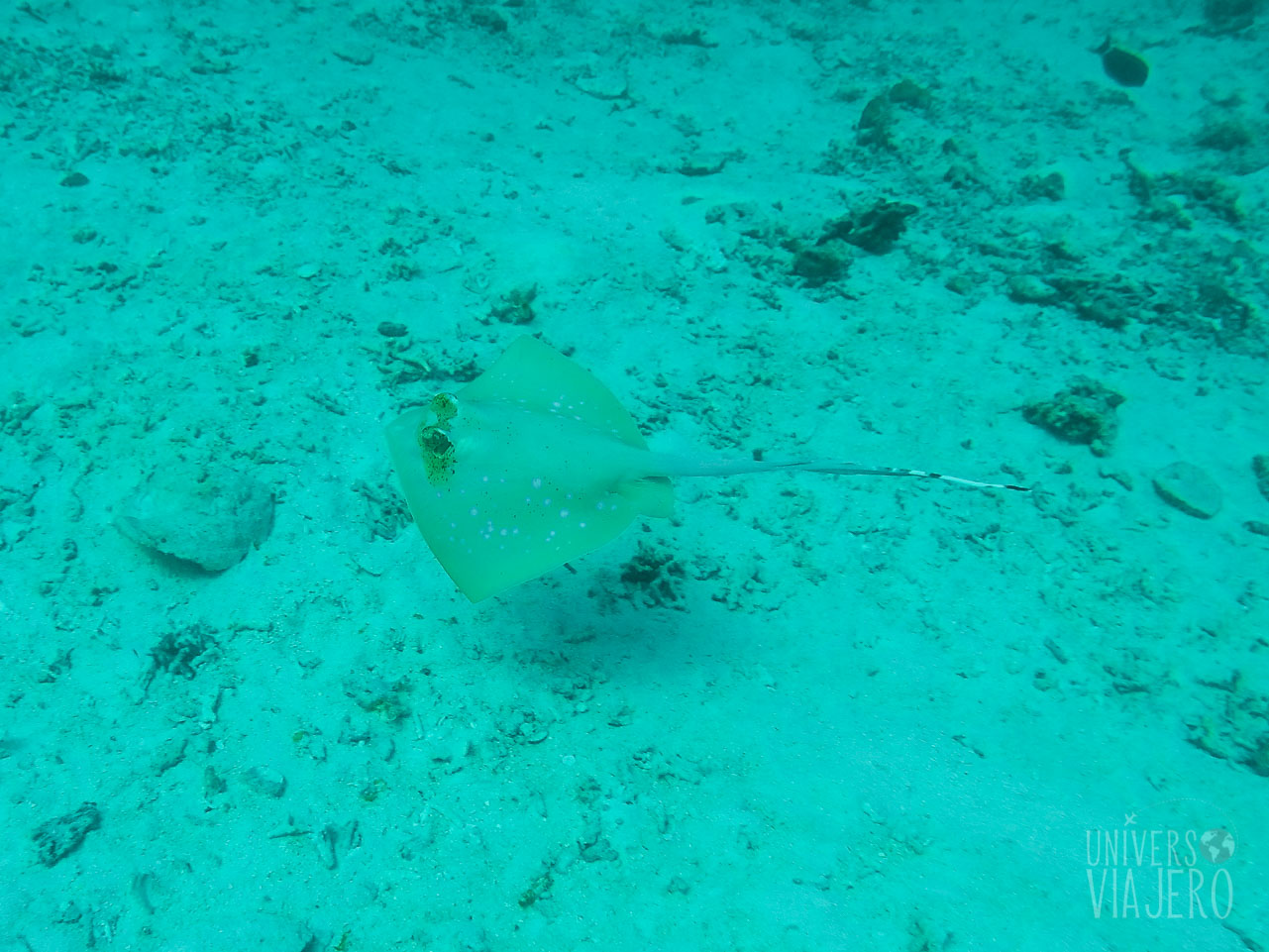 Bluespotted Stingray - Diving - Similian Islands - Thailand