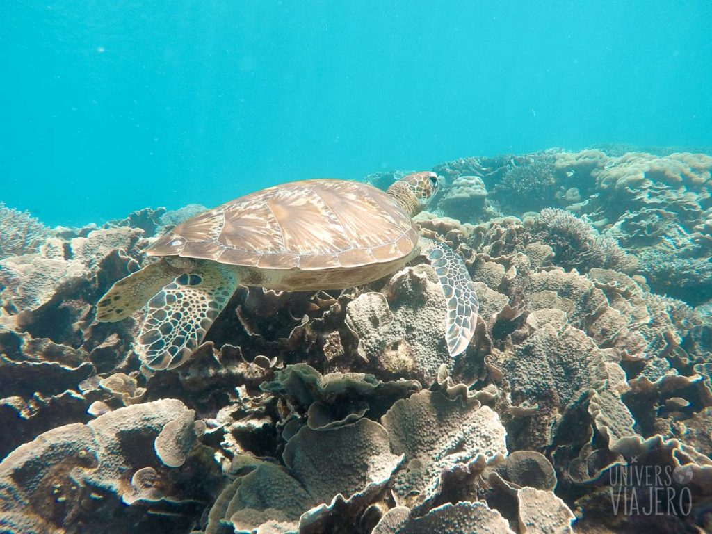 Turtle in the reef - Alona Beach - Bohol Island - Filipinas